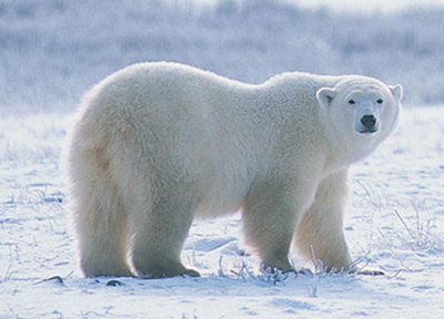 huge-polar-bear
