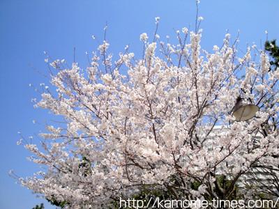 お台場の桜その4