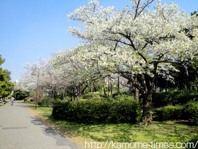 お台場の桜その3
