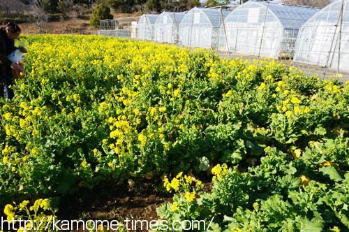 菜の花摘みの畑