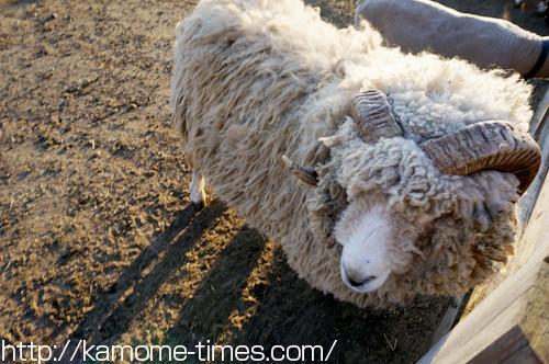 もふもふの羊
