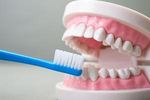 歯の模型と歯ブラシ